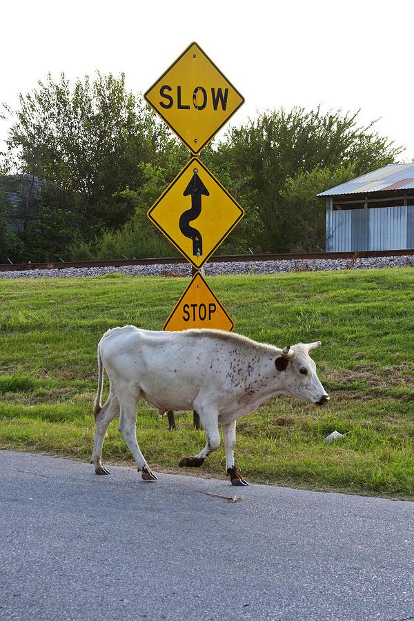 Cattle Photograph - Mooving Along by Toni Hopper