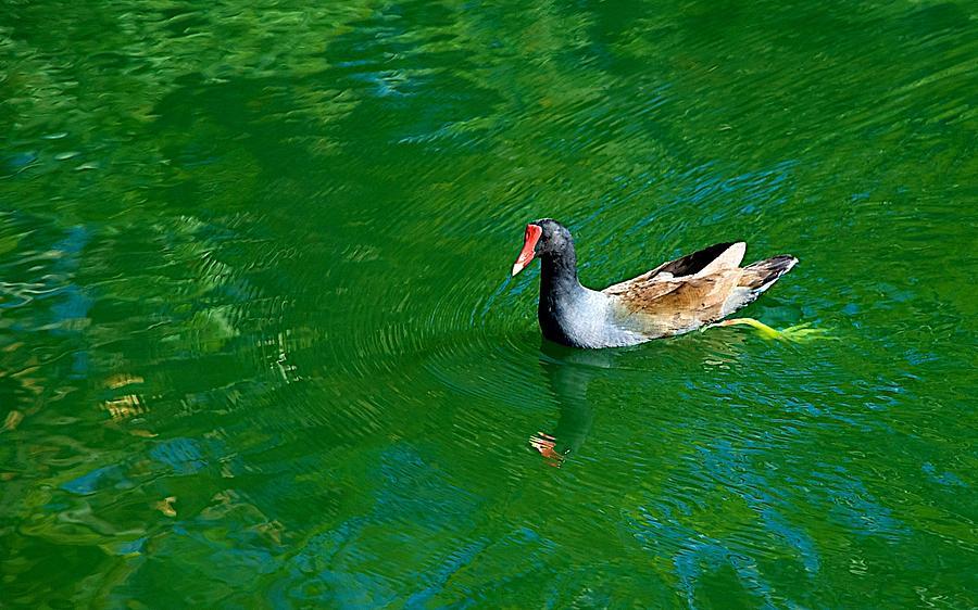 Bird Photograph - Morehen by Joseph Yarbrough