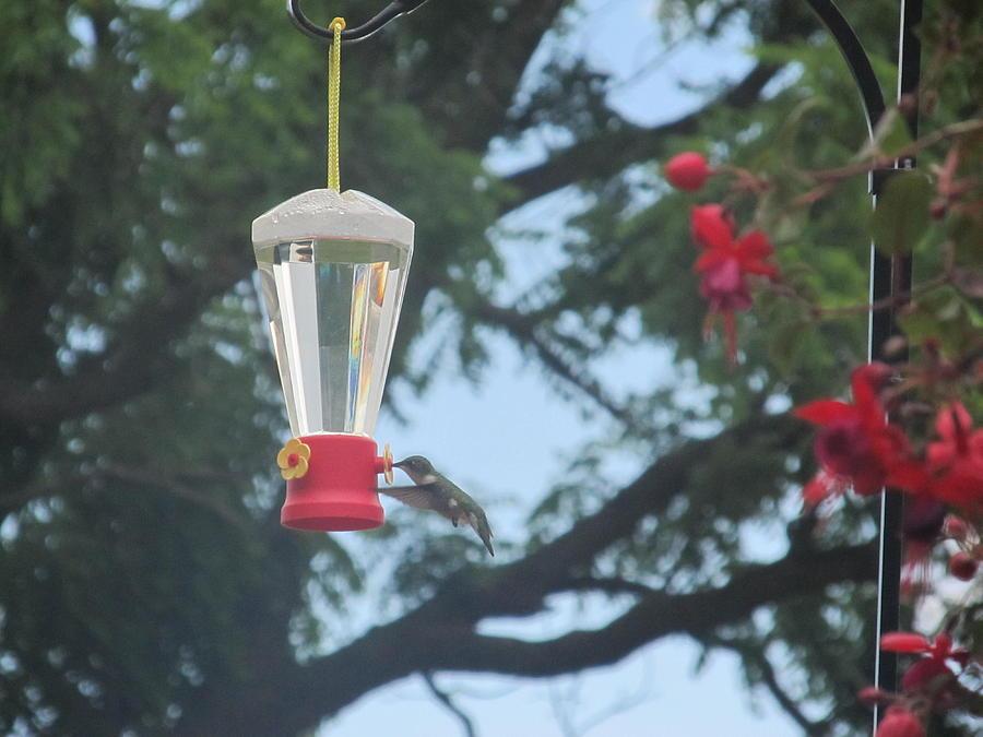 Hummingbirds Photograph - Morning Feed by Tina M Wenger