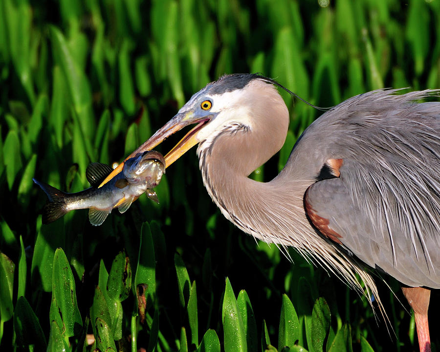 Gret Blue Heron Photograph - Morning Fishing by Bill Dodsworth