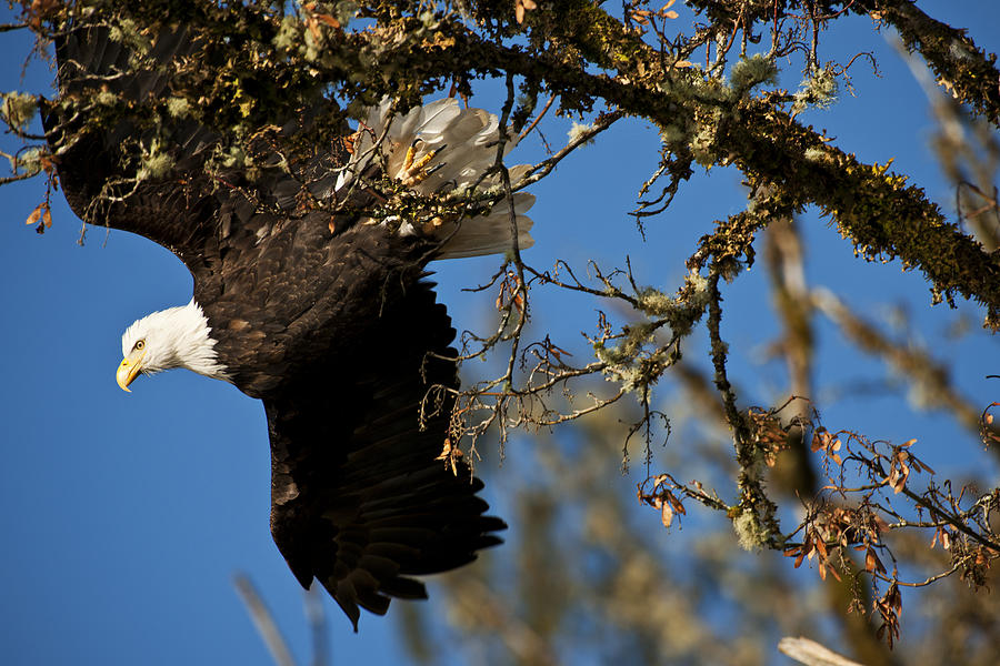 Bald Eagle Photograph - Morning Flight by Yoshiki Nakamura