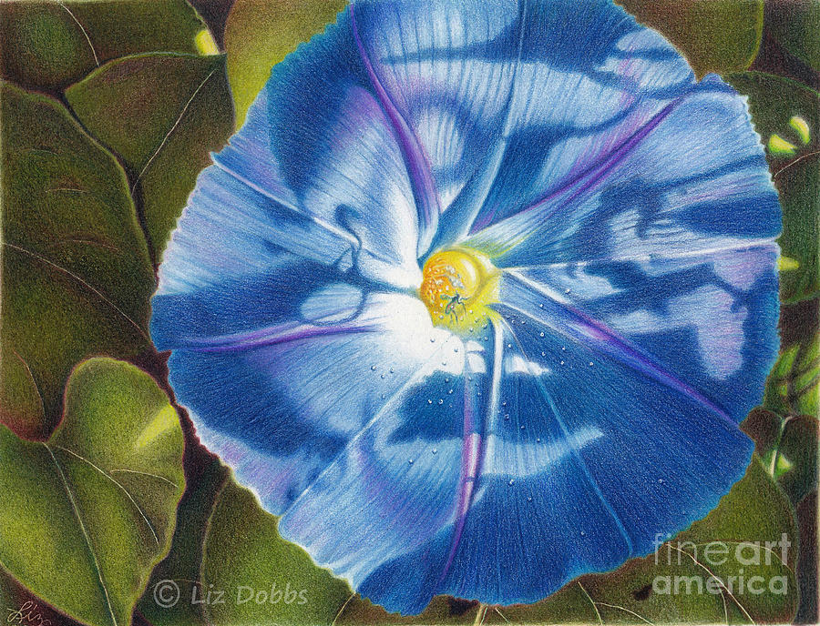 Flower Painting - Morning Glory B by Elizabeth Dobbs