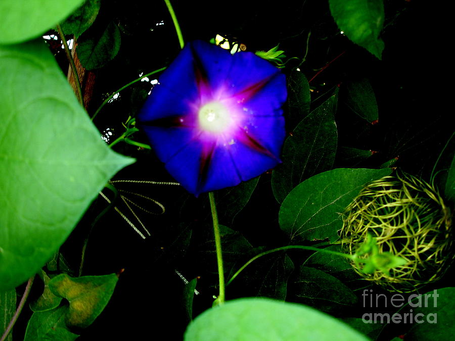 Flowers Photograph - Morning Glory Glory by Marilyn Magee