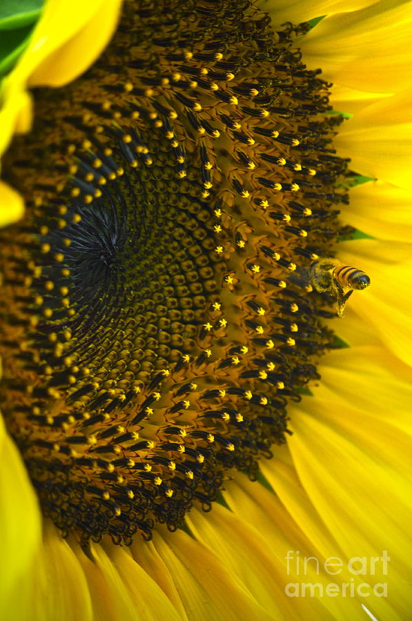 Sunflower Photograph - Morning Is The Best by Gwyn Newcombe