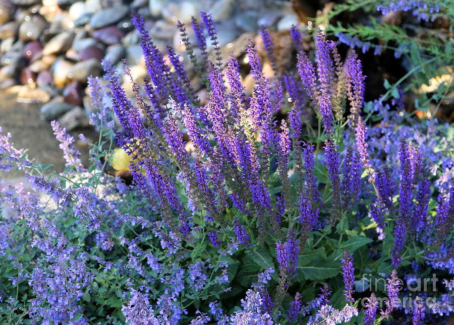 Purple Photograph   Morning Light On Purple Flowers By Carol Groenen