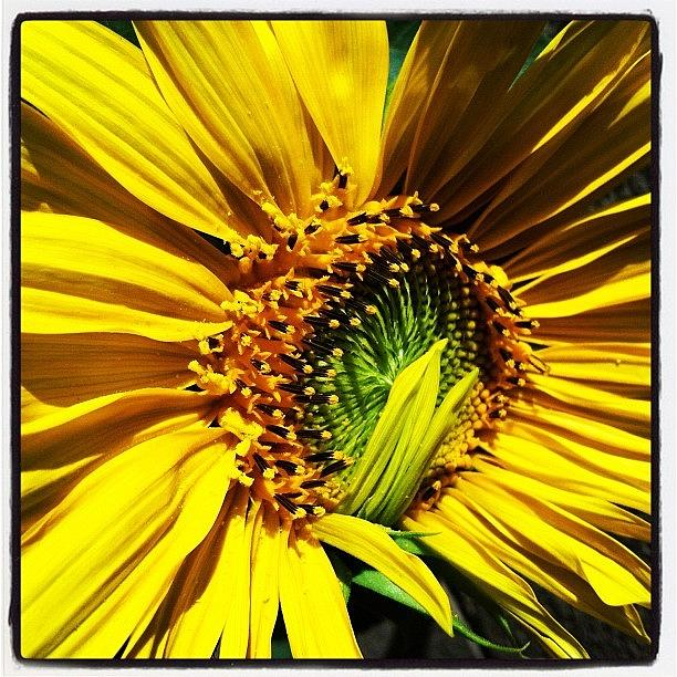 Sunflower Photograph - Morning Sun by Gwyn Newcombe