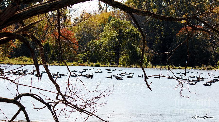 Ducks Photograph - Morning Swim by Lorraine Louwerse