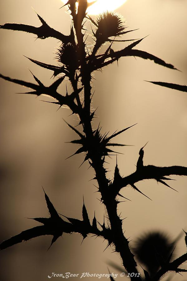 Morning Thorns Photograph by Ted Albert