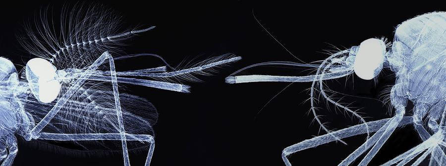 Animal Photograph - Mosquito Heads, Light Micrograph by Steve Gschmeissner