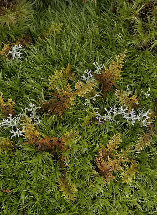 Bryophyta Photograph - Moss And Lichen by Daniel Reed