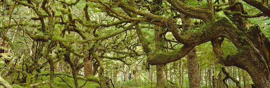 Botany Photograph - Moss-covered Trees by David Nunuk