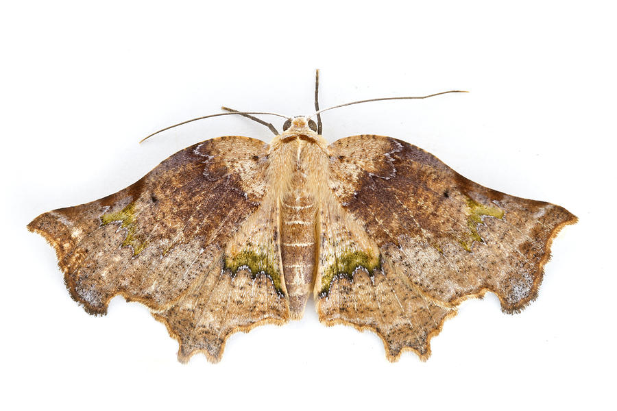 Animals And Earth Photograph - Moth Braulio Carrillo Np Costa Rica by Piotr Naskrecki