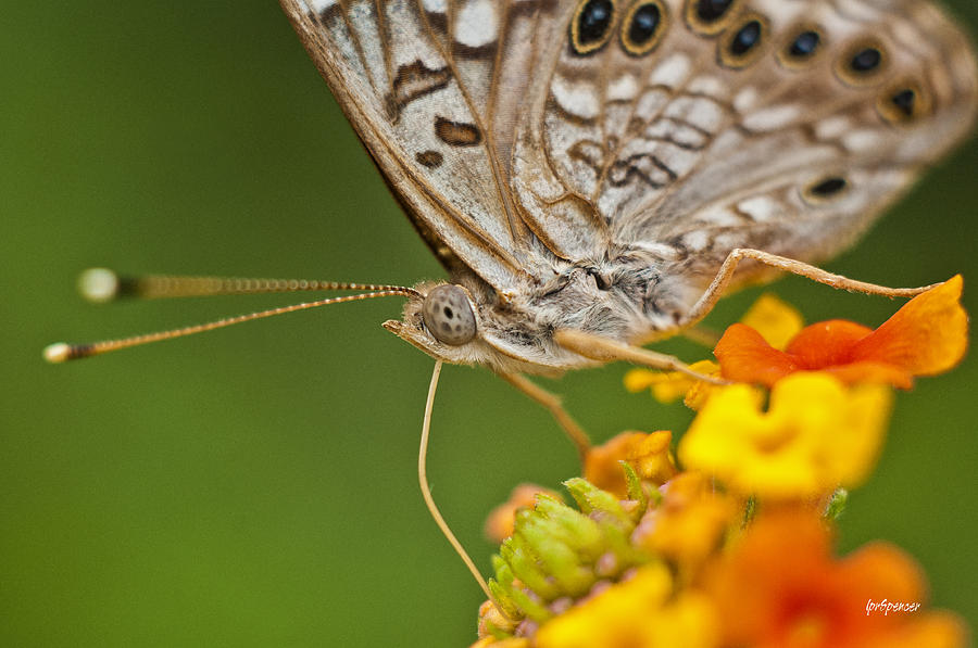 Nature Photograph - Moth On Flower Clusters by Lisa  Spencer