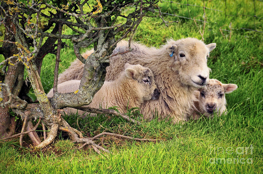 Sheep Photograph - Mother And Babies by Jason Connolly
