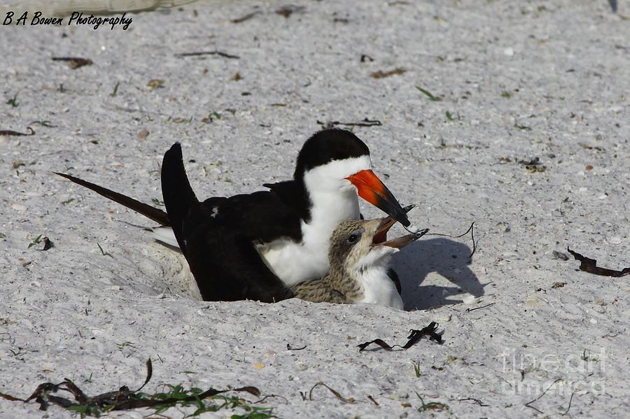 Black Skimmer Photograph - Mother And Baby Black Skimmer by Barbara Bowen