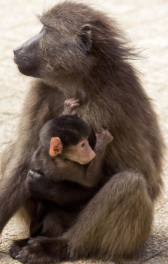 Female Photograph - Mother And Baby Chacma Baboon by Bob Gibbons