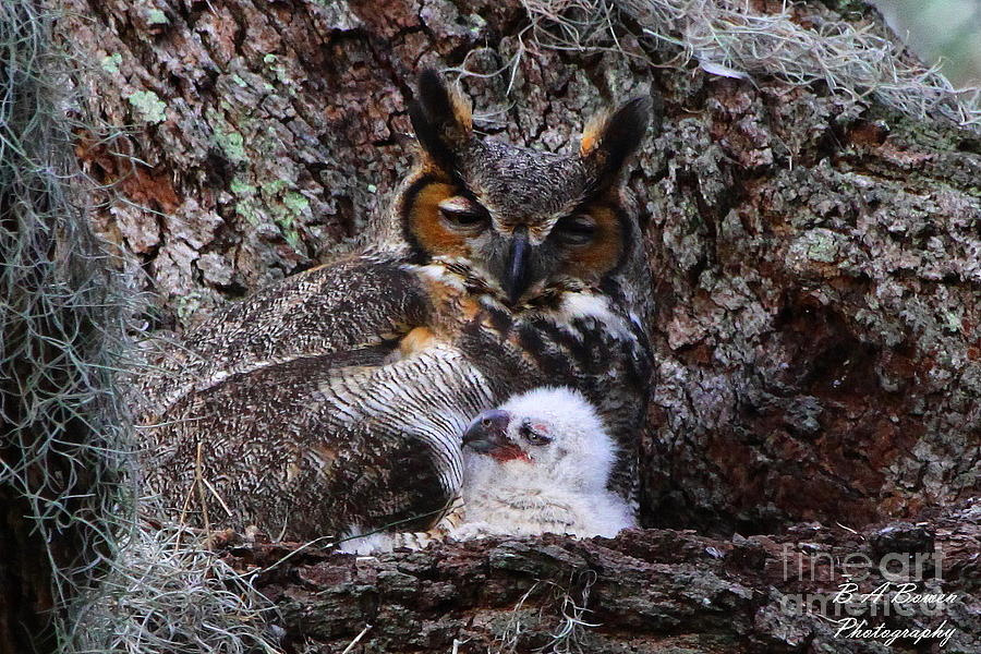 Great Horned Owl Photograph - Mother And Baby Owl by Barbara Bowen
