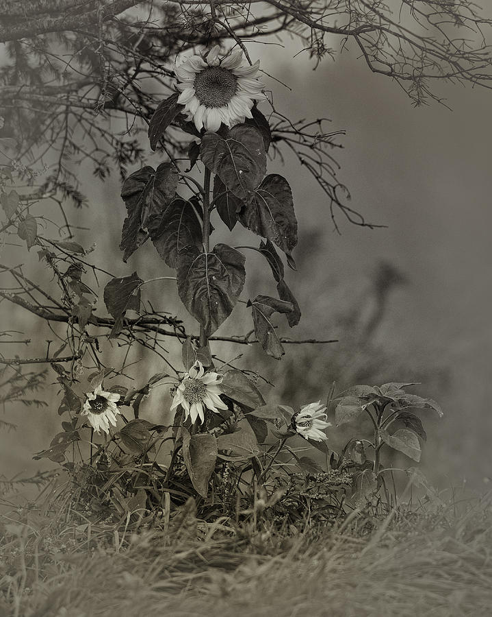 Sunflowers Photograph - Mother And Child Reunion by Susan Capuano