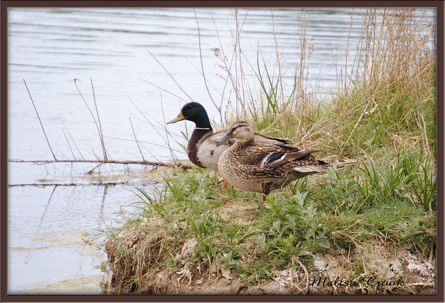 Denny Lake Photograph - Mother And Father Duck by Melisa Crook