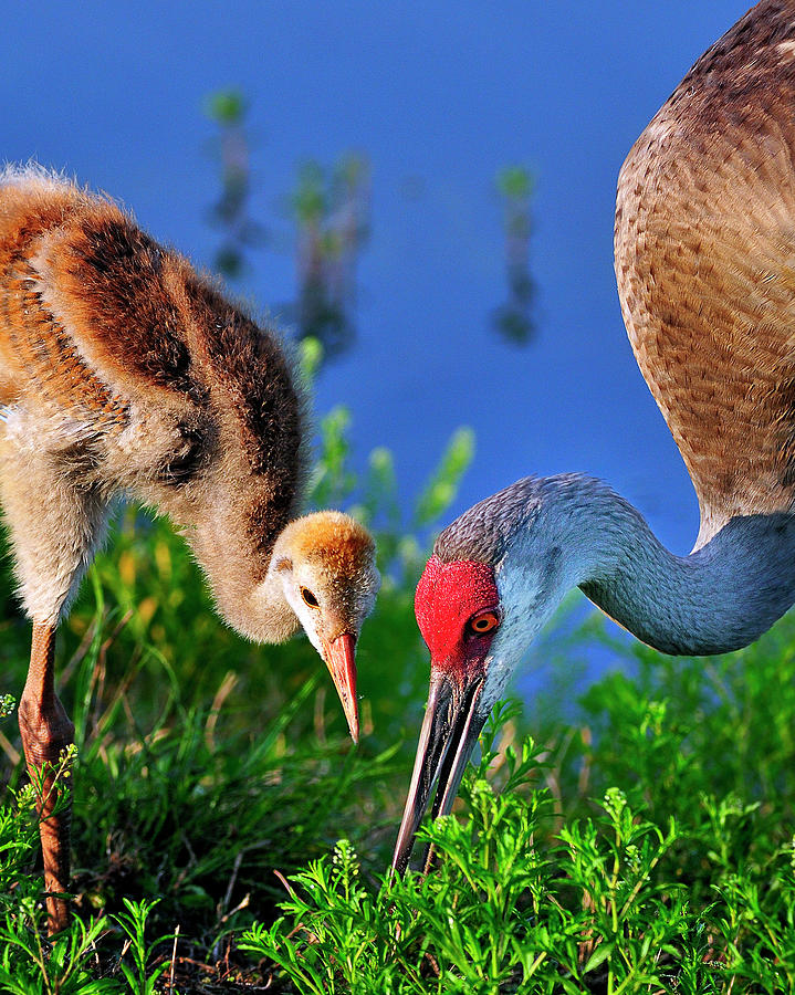 Mother Photograph - Mother And Young Sandhill Crane by Bill Dodsworth