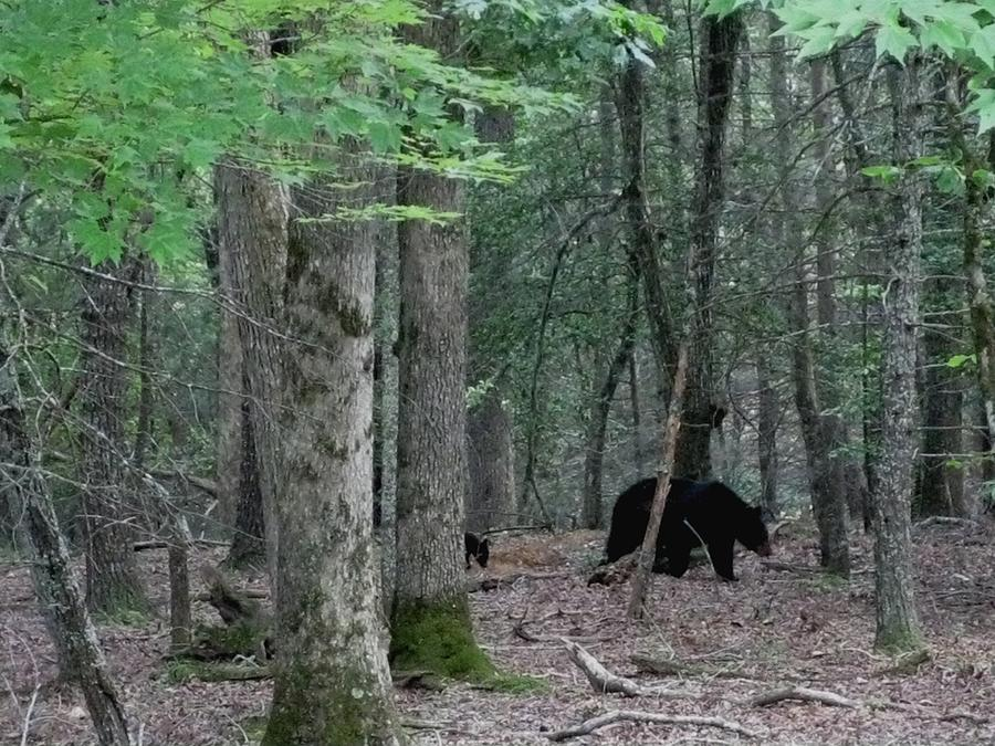 Kathy Long Photograph - Mother Bear And Cub In Woods by Kathy Long