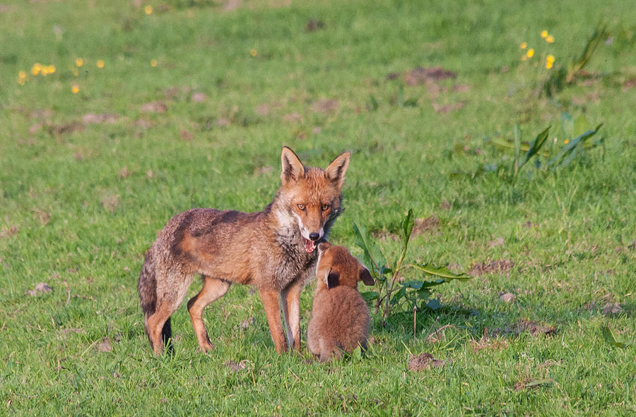 Mother Fox And Cub Photograph By Dawn Oconnor