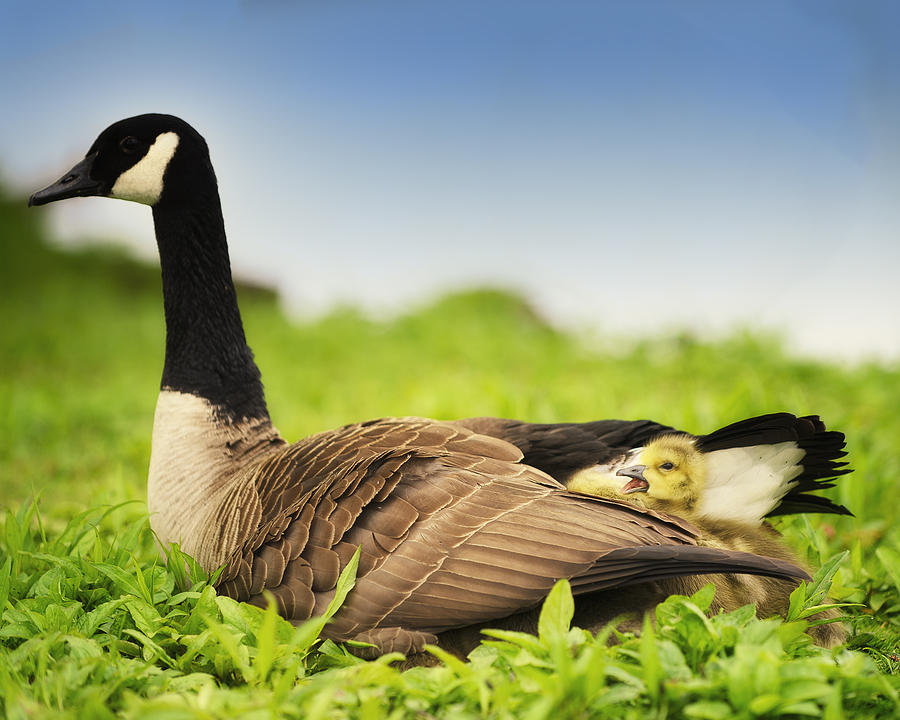 Geese Photograph - Mother Goose And The Loud One by Vicki Jauron