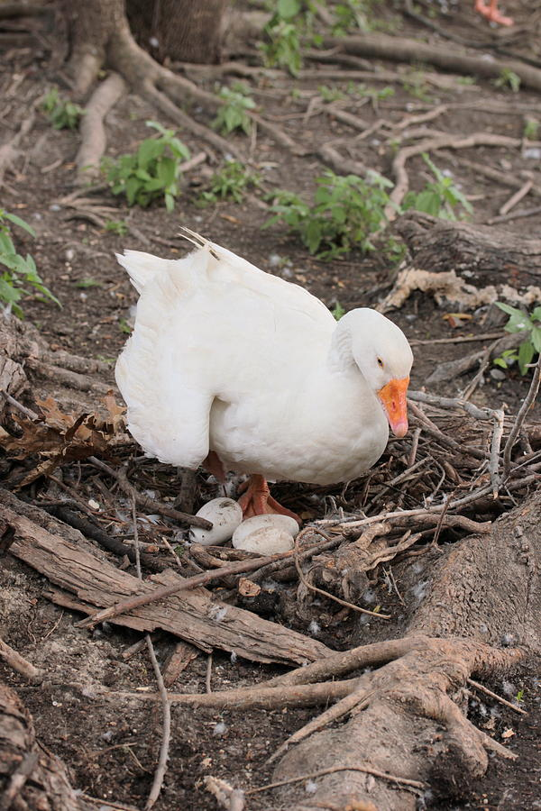 Nature Photograph - Mother Goose by Jessi  Williams