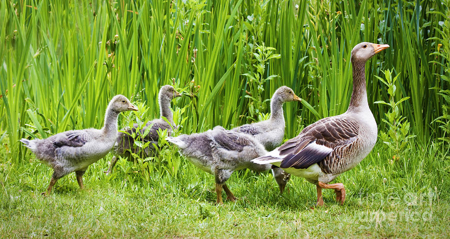 Aloof Photograph - Mother Goose Leading Goslings by Simon Bratt Photography LRPS