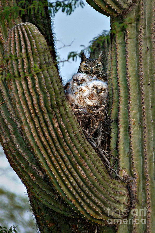 Mother Owl With Chicks Cactus Nest Photograph By Joanne West