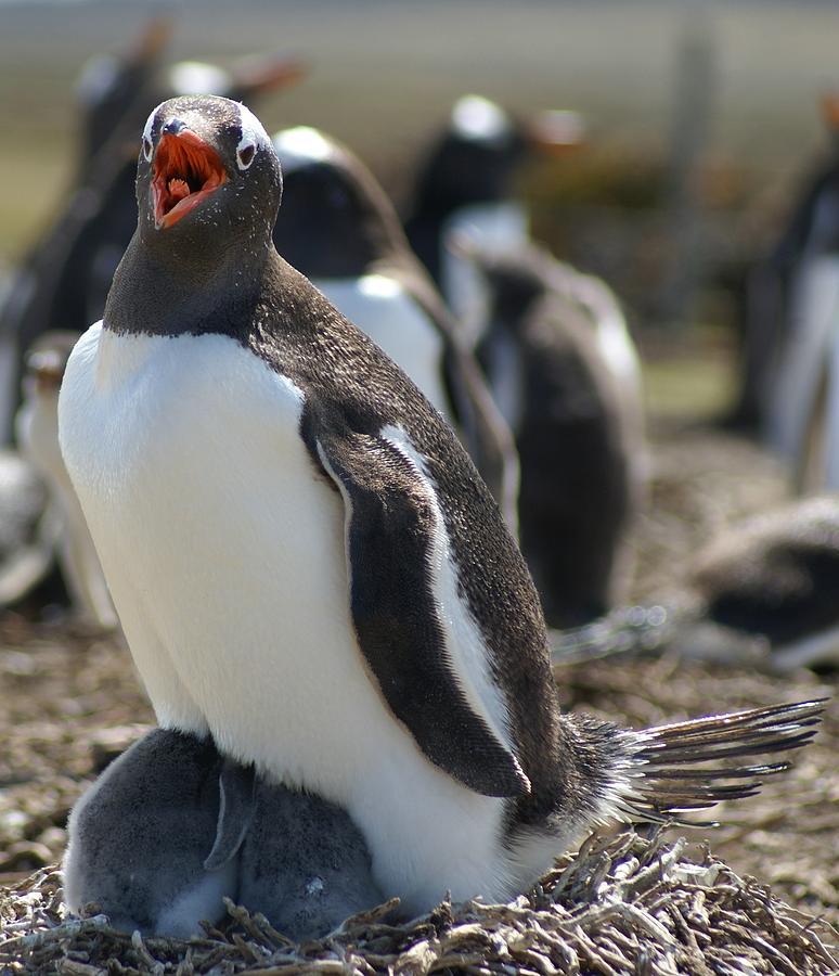 Gentoo Penguin Photograph - Mother Penguin by DerekTXFactor Creative