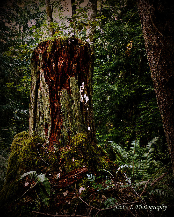 Marshes Photograph - Mother Stump by Dorothy Hilde