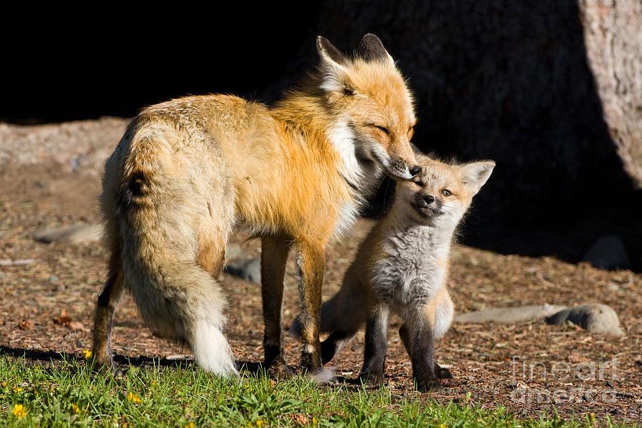 Fox Photograph - Mothers Love by Danny  Nestor