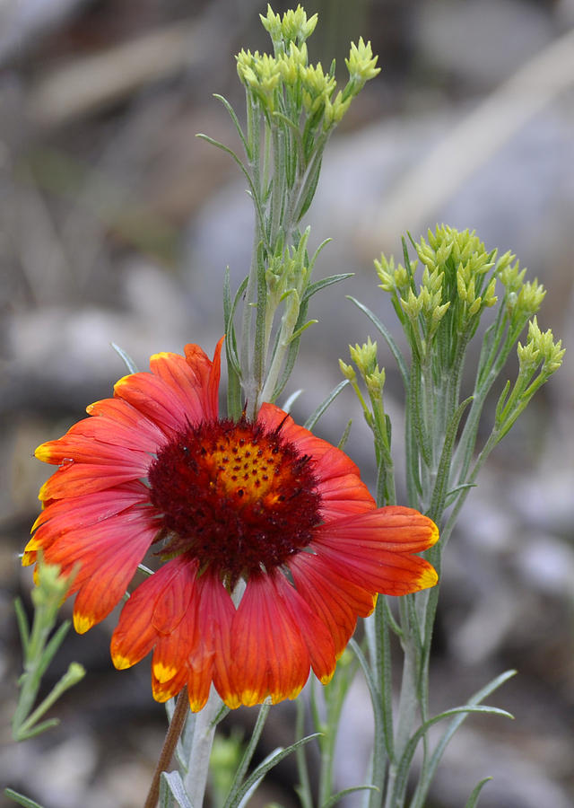 Mount Charleston Photograph - Mount Charleston Wildflowers by Sandra Welpman