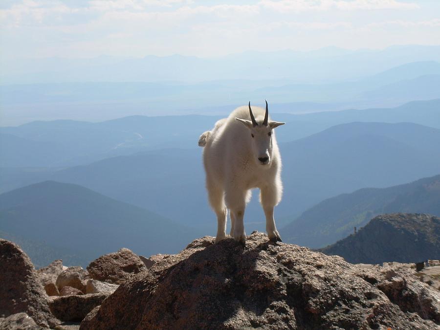 Mountain Digital Art - Mount Evans Goat by Bill Kennedy