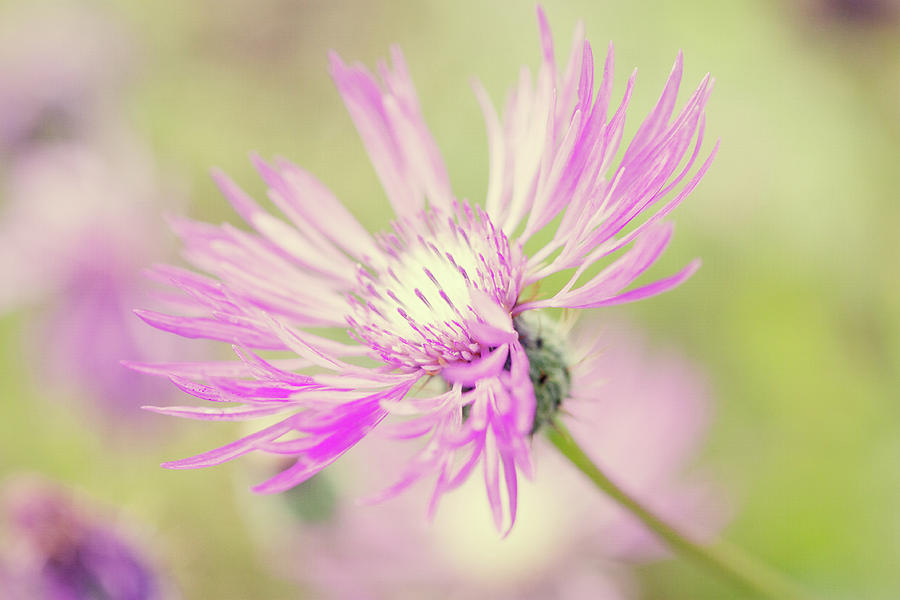 Horizontal Photograph - Mountain Cornflower Pink by Leentje photography by Helaine Weide