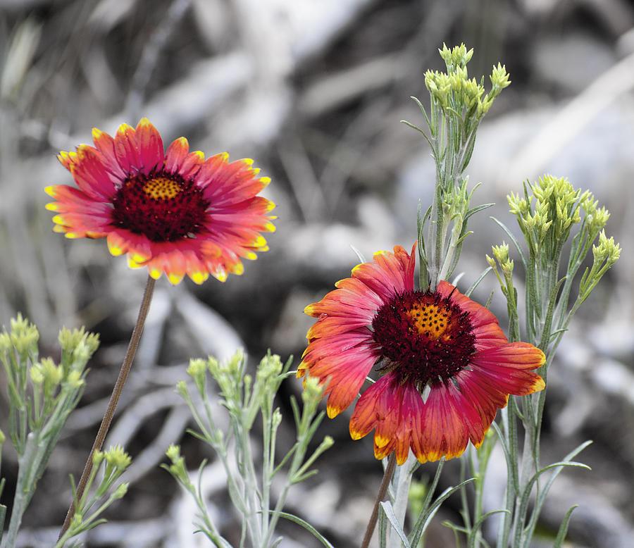 Wild Photograph - Mountain Flower 2 by Sandra Welpman