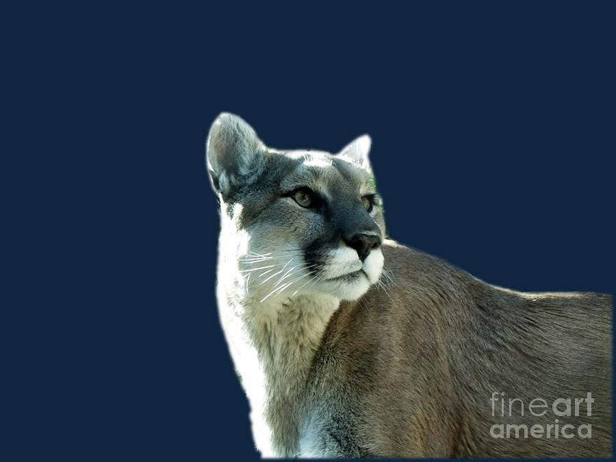 Cougar Photograph - Mountain Lion Beauty by Donna Parlow