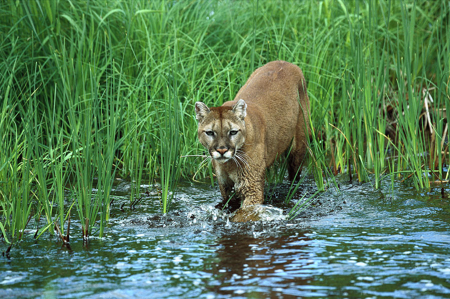 Mp Photograph - Mountain Lion Puma Concolor Wading by Konrad Wothe