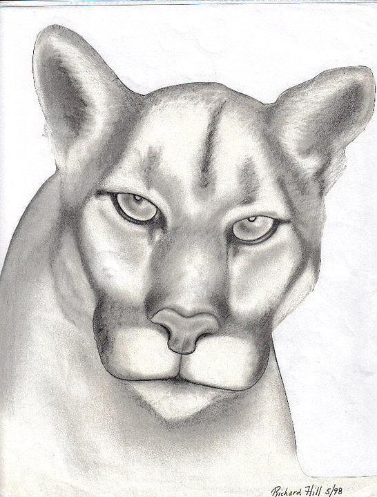 Portraits Drawing - Mountain Lion by Rick Hill