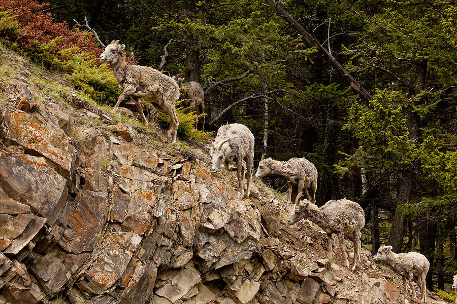 Canadian Rockies Photograph - Mountain Sheep 1668 by Larry Roberson