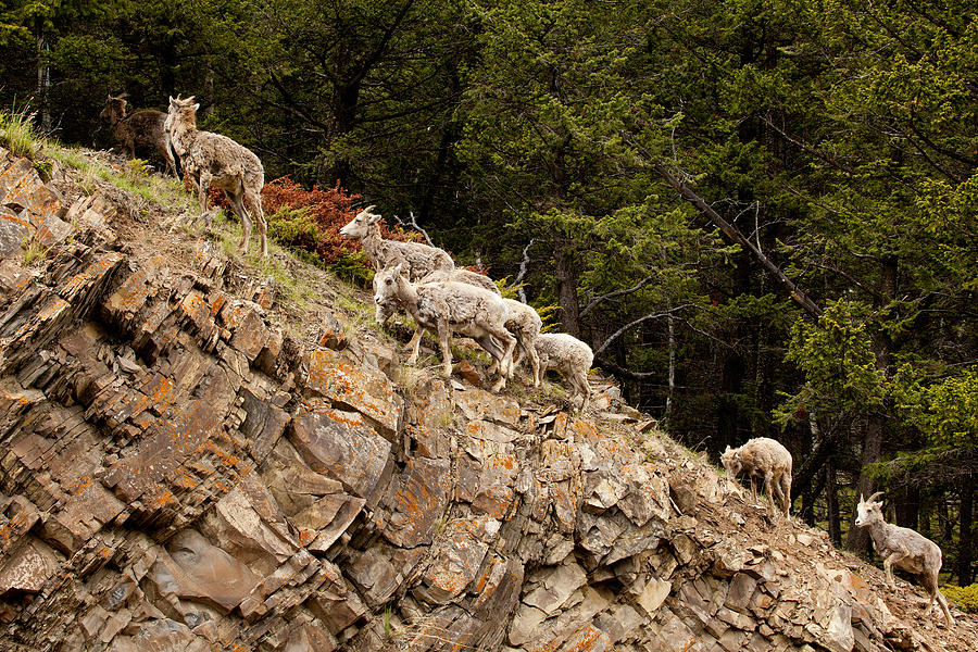 Canadian Rockies Photograph - Mountain Sheep 1670 by Larry Roberson
