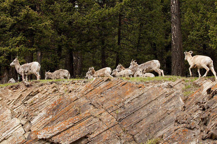 Canadian Rockies Photograph - Mountain Sheep 1673 by Larry Roberson