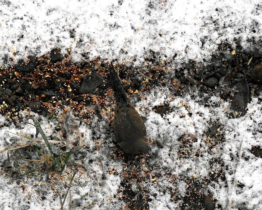 Mourning Dove Photograph - Mourning Dove by Virginia Pakkala