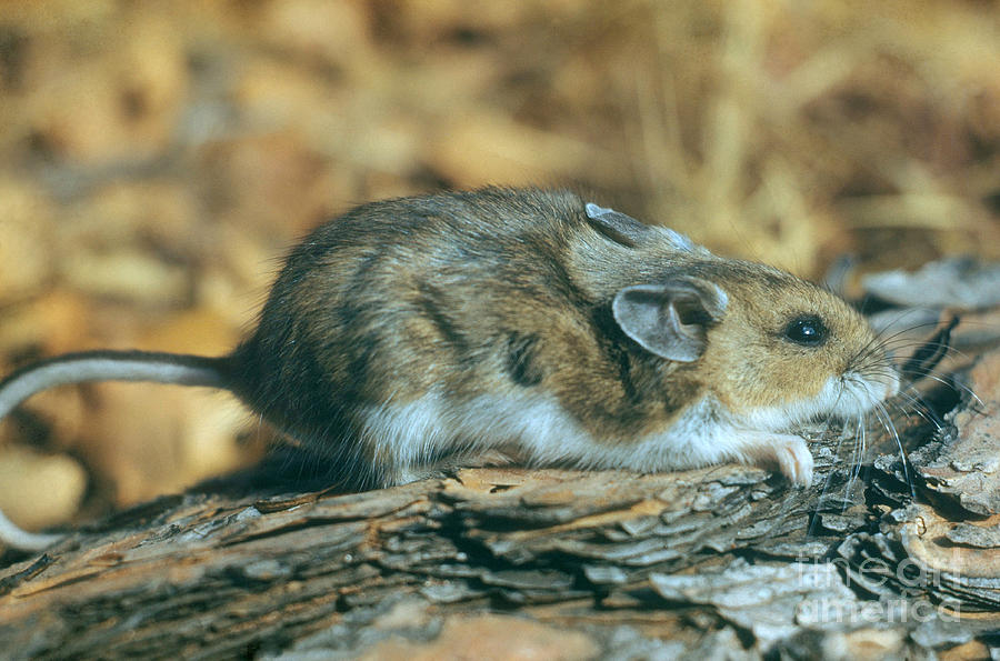 Nature Photograph - Mouse On A Log by Photo Researchers, Inc.