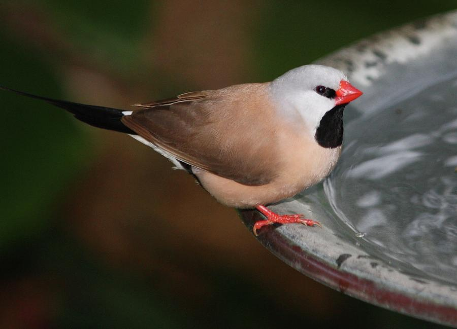 Finch Photograph - Mr. Red Beak by Andrea  OConnell
