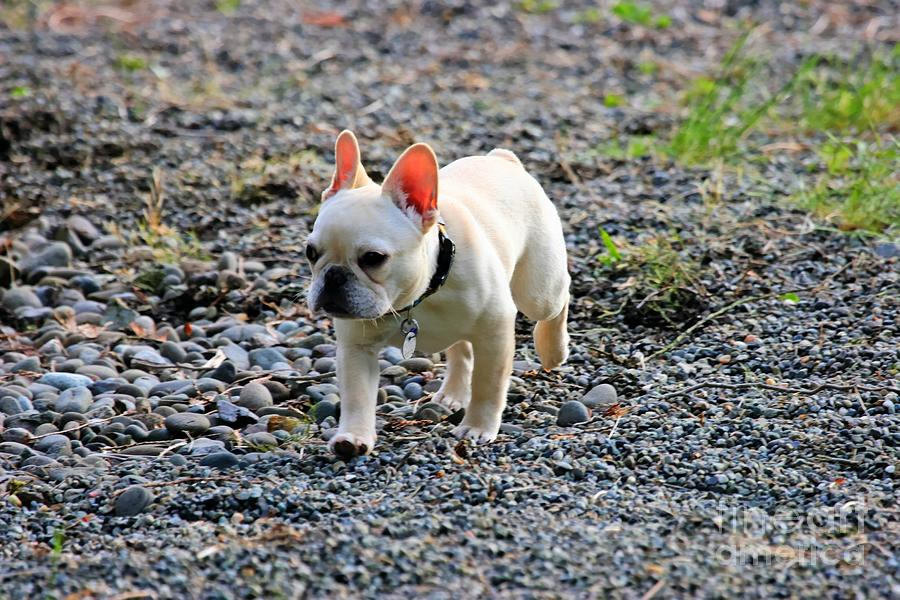 Ms. Quiggly Jogging - French Bulldog Photograph