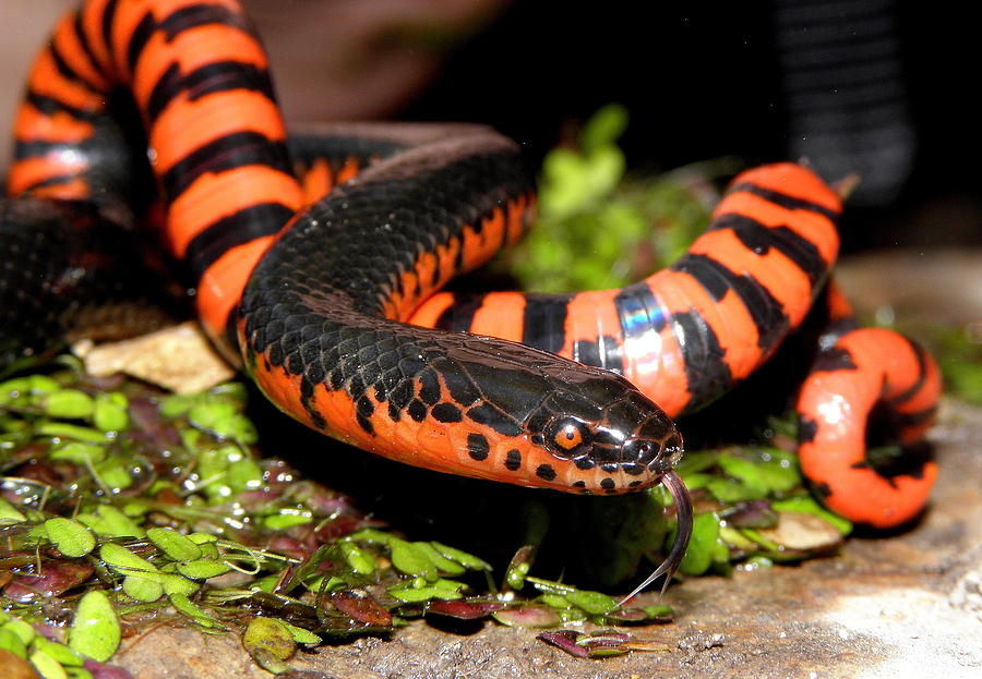 Snake Photograph - Mud Snake by Griffin Harris