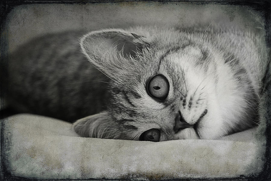 Cat Photograph - Muffin by Claudia Moeckel