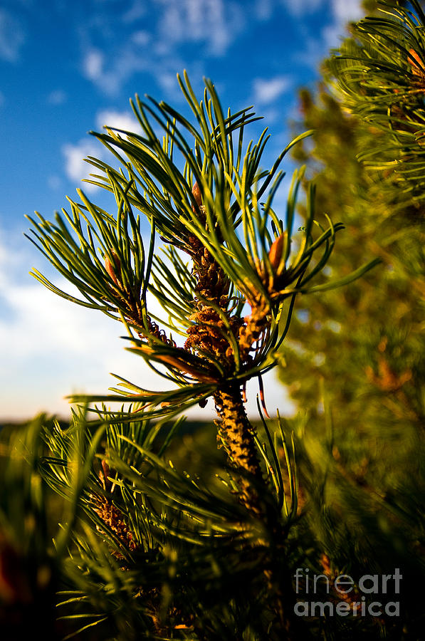 Mugo Pine Photograph - Mugo Pine Branch by Terry Elniski